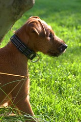 Observing (Sergei Zinovjev) Tags: irish terrier dog puppy outdoor outside nature garden sunny weather summer warm green grass color colorful brown tree flickrcentral 123dogs flickrworldwide flickrtoday groupwithexperience pentax pentaxk5 pentaxlife