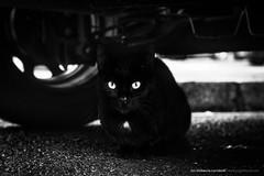 Sospechamos. (jongoikoh) Tags: gato cat animal felino rueda car coche urban suspect blac white shy meaow eyes ojos begiak sondika bizkaia basque country save