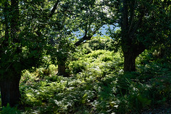 Chtaigniers-et-Fougres... (RS...) Tags: corse castagniccia chtaigners fougres chesnut fern vert green d7100