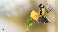let go (Geert Weggen) Tags: nature animal perennial closeup cute plant funny happy summer ground bright light branch yellow bird tit titmouse flower rose stem wing fly sweden geert weggen jmtland ragunda