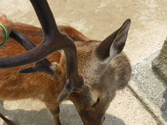 Pesky deer on Miyajima-3 (Stop carbon pollution) Tags: japan  honshuu  hiroshimaken  miyajima