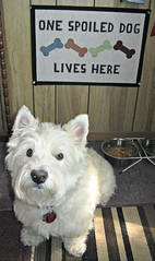 "9/12A ~ Riley asks ""Mom, do you really think I'm spoiled?"" (ellenc995) Tags: riley westie westhighlandwhiteterrier 12monthsfordogs16 spoiled rubyphotographer thesunshinegroup alittlebeauty challengeclub supershot coth5 ruby3 coth pet100 thesuperbmasterpiece pet500 100commentgroup pet1500 pet1000"
