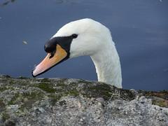 Swan (stevenbrandist) Tags: moulton moultonbicyclecompany moultonbicycleclub bradfordonavon boa bicycle
