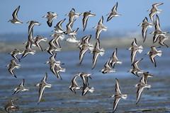 Voler     (bécasseaux sanderling) (Loïc Gouyette) Tags: oiseau bird bécasseau sanderling bretagne