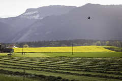 buzzard's eye (mamuangsuk) Tags: buzzardseye avoldoiseau grabberseye field champ country campagne colza rapeseed cows cattle vaches betail buse jura foin countryside nature feelgood serenity 6d 135l mamuangsuk