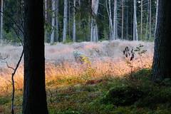 Sunset light (evisdotter) Tags: kvlliskogen evening wood forest trees grass grs sunsetlight sooc nature svartsmara land