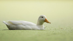 duckweed soup (t.schwarze) Tags: duck ente pentaxart duckweed entengrtze wasserlinsen weis white animal orange