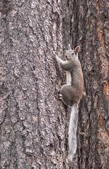 Squirrel (bj.geske) Tags: arizona forest trees brown squirrel tail ears wildlife mammal climbing