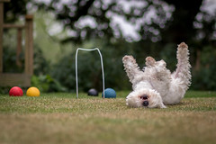 West Highland Terrier Madge (Chris Betts Photography) Tags: westie west highland terrier croquet garden games play rolling
