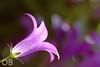 Campanule (Olivier Brosseau) Tags: campanule plante végétal