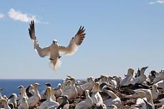 20160912_030_ile_bonaventure_atterissage_au_milieu_de_la_foule (lindy_scuba) Tags: bonaventure canada flying gannet landing perce quebec