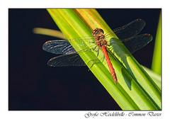 Groe Heidelibelle - Common Darter (tom22_allgaeu) Tags: dragonfly commondarter groseheidelibelle animals tiere tamron topaz nikon natur nature nahaufnahme nikfilter d3200 makro macro
