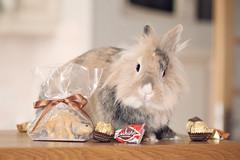 Happy Easter! (deathtiny42) Tags: pet rabbit animal female de dwarf chocolate lion compagnie lapin chocolat tete nemesis nain paques femelle némésis