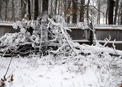Snowy Tree (sarakwhit) Tags: winter blackandwhite snow tree snowy capecod blizzard winterstormnemo