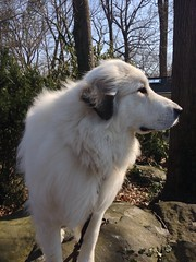 I love dogs with big noses. (POOLEworks | roger) Tags: greatpyrenees iphone chlo uploaded:by=flickrmobile flickriosapp:filter=nofilter