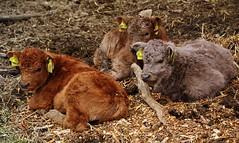 Nachwuchs _ offspring (Lutz Koch) Tags: animal kuh cow jung pentax young calf tier kalb k7 elkaypics