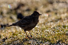 Eurasian Skylark, Alauda arvensis (Nigel Blake, 2 million views Thankyou!) Tags: nature birds canon photography wildlife blake eurasian nigel skylark mkiii eos1ds arvensis passerine alauda 600mm f4is