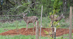 Time to build a deer fence (artlessfun) Tags: washington kalama blacktaileddeer blueberrypatch artlessfun cowlitzcountywa img14442