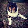 2013-02-20 18.49.23 (adventurediva) Tags: dog cute collie tricolor stick rough playful iphone adventurediva instagram