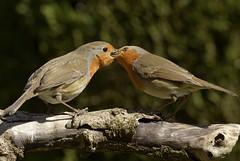 Robin (44) (jgsnow) Tags: robin birds ngc npc