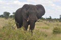 Afrika Olifant / African elephant (Loxodonta africana). (Hendrik/Corrie Coetzee) Tags: elephant african afrika olifant loxodonta africana