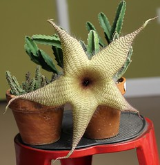 Stapelia Gigantea (Dasinsekt) Tags: hairy succulent stripes smelly stapelia carrionflower starfishflower asclepiad stapeliad stinkyflower