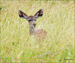 ... all ears `..` (`* corneliq `*) Tags: nature ngc grassland krugernationalpark satara coth theworldwelivein alittlebeauty naturesharmony coth5 kuducalf