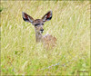 ... all ears ❁❤`•.¸¸.•´´¯`•• (✾`*• corneliq ✾`*•) Tags: nature ngc grassland krugernationalpark satara coth theworldwelivein alittlebeauty naturesharmony coth5 kuducalf