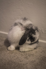 Nibbler (tokyoexpressway) Tags: pet cute rabbit bunny bunnies hollandlop babyrabbit babybunny cutebunny cutepet tinyrabbit cuterabbit babyhollandlop