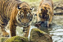 zwei Brder (Seahorse-Cologne) Tags: cat chats tiger tigre photomix raubkatzen frameit panoramafotografico mygearandme allofnatureswildlifelevel1 rememberthatmomentlevel1