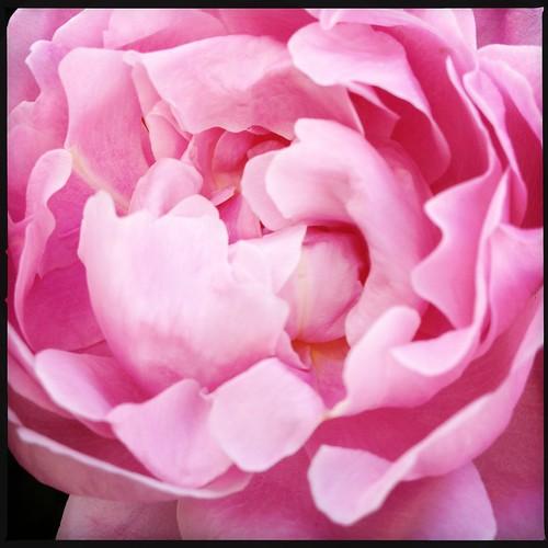 Roses #garden #rose