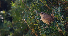 Wren (troglodytes troglodytes) (markhortonphotography) Tags: bird canon spring jenny fair surrey 7d wren loseleyhouse troglodytestroglodytes 100400l loseleypark eos7d