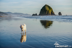 Grizzly posing in front of Haystack Rock (Kris Taeleman) Tags: sunset usa oregon pacificocean oregoncoast grizzly cannonbeach haystackrock northernoregon