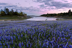 Purple Hues (boingyman.) Tags: flowers trees sky lake field landscape purple scape lupine boingyman