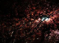 Leaves (Leanna Bennett) Tags: light red tree lamp leaves leaf streetlight streetlamp lightpost aprilnighttripod2013