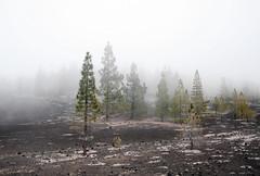 {EXPLORE} [Tenerife III] im Nebel (Frau Koriander) Tags: trees tree fog lava spain day nebel floor outdoor earth foggy explore tenerife teide teneriffa bäume canaryislands baum spanien chio imnebel explored parquenacionaldelteide nikond300s tf38 kanarischefichte