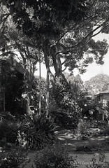 20130425 Tropical garden at Montville-1 (Degilbo on flickr) Tags: scanned pentaxk1000 diafine montville tropicalgarden bwnegatives lightroom3 tamronaf28105mmf456if nationalseniors aristapremium40035mm