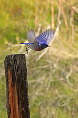 Off in a flash (littlebiddle) Tags: nature canon washington wildlife 7d floraandfauna