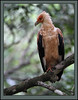 Palm-nut Vulture (Rainbirder) Tags: kenya shimbahills specanimal palmnutvulture gypohieraxangolensis vulturinefisheagle rainbirder