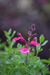 salvation (Soggy6) Tags: home rain garden spring bokeh fuschia salvia bloom swirl 58mm wakeforest helios443