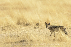 Black-Backed Jackal - Canis mesomelas (Wizard of Wonders) Tags: africa park wild vacation dog black hot nature field grass animal standing tanzania mammal jackal natural kenya outdoor african wildlife south dry canine running safari southern national savannah wilderness plains serengeti predator habitat namibia kalahari backed etosha scavenger blackbacked canis canismesomelas blackbackedjackal etoshanationalpark mesomelas
