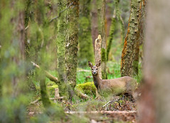 Showdown (Alan MacKenzie) Tags: trees england forest woodland mammal sussex bokeh deer roedeer stleonardsforest