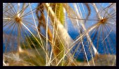 ¡Pide un deseo!/Make a wish! (Sofia Vitori) Tags: sea sky naturaleza macro primavera nature make mar spring dandelion greece cielo wish karpathos makeawish dientedeleón amoopi ilobsterit