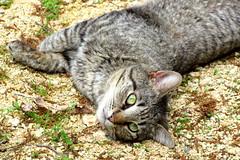 Gravel cat (livingglassart home of oddballs and oddities) Tags: cat critter dirt gravel tabbycat