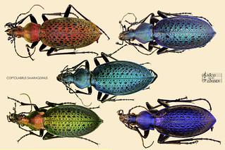 Carabus Coptolabrus Smaragdinus Ssp' s