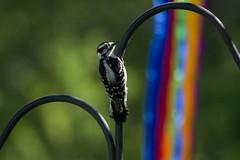 IMG_6489.jpg (Scott Alan McClurg) Tags: life park morning wild male bird fly flying spring woodpecker wildlife wing sunny neighborhood perch downy flap soar smallbirds glide