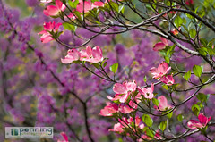 Petals in Pink (MattPenning) Tags: pink sunlight tree green nature sunshine petals purple pentax branches magenta potd dogwood k5 springfieldillinois pinkdogwood mattpenning kmount mattpenningcom abrahamlincolnmemorialgarden penningphotography justpentax pentaxsmcda50135mmf28edifsdm pentaxk5