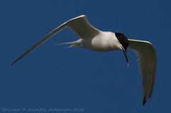 Skyfisher (Avian Sky) Tags: sea sky bird flying flight migrant sandwichtern sternasandviscensis