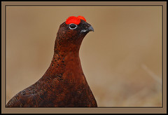 Red Grouse Cock (Rainbirder) Tags: scotland ngc breadalbane glenquaich lagopuslagopusscotica rainbirder
