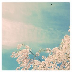 * another birds & trees & flowers. (*vanessa.) Tags: pink flowers sky tree bird floral birds cherry aqua soft bright sweet feminine branches blossoms noflash cherryblossoms dreamy blooms airy skyblue softlight palepink softtones softpink childsroom holga135 softtone vanessaray hipstamatic inas1935film lefoxvintage adler9009lens